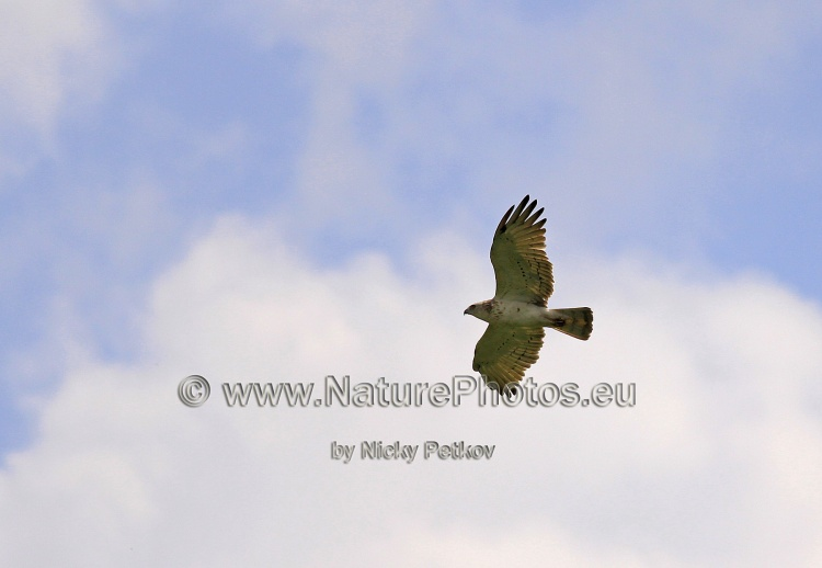 WildLife Photos of Birds, Birds of Prey, Short-toed Snake-eagle, Circaetus gallicus