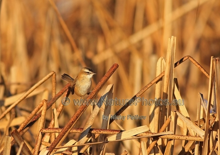 WildLife Photos of Birds, Warblers, Moustached Warbler, Acrocephalus melanopogon