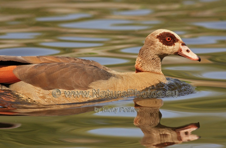 WildLife Photos of Birds, Geese, Ducks & others, Egyptian goose, Alopochen aegyptiaca