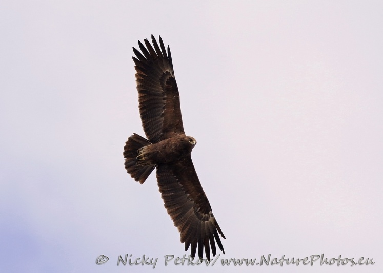 WildLife Photos of Birds, Birds of Prey, Greater Spotted Eagle, Aquila clanga