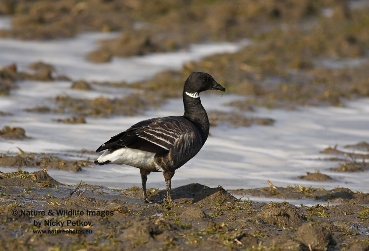 WildLife Photos of Birds, Geese, Ducks & others, Brent Goose, Branta bernicla