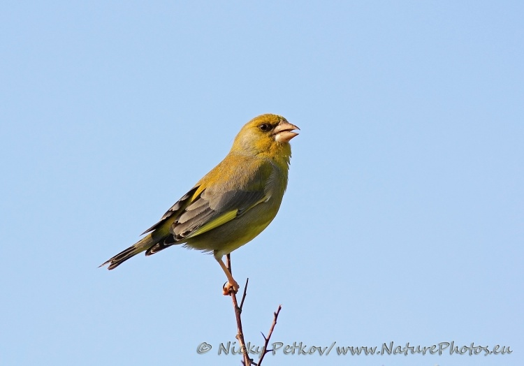 WildLife Photos of Birds, Sparrows, Finches & Buntings, European Greenfinch, Carduelis chloris