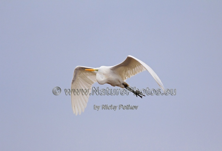 WildLife Photos of Birds, Storks & Herons, Great Egret, Casmerodius albus