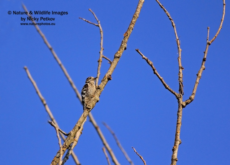 WildLife Photos of Birds, Woodpeckers & Swifts, Lesser Spotted Woodpecker, Dendrocopos minor