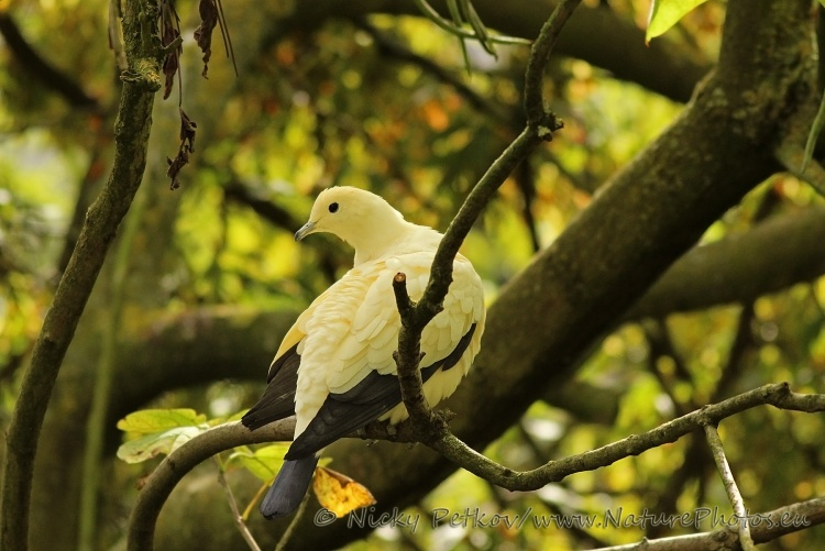 WildLife Photos of Birds, Pigeons, Doves, Cuckoos & others, Pied Imperial Pigeon, Ducula bicolor