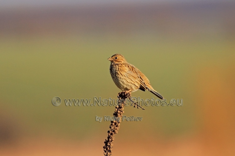 WildLife Photos of Birds, Sparrows, Finches & Buntings, Yellowhammer, Emberiza citrinella