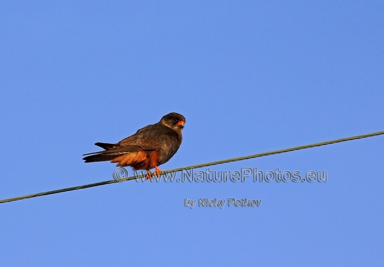 WildLife Photos of Birds, Birds of Prey, Red-footed Falcon, Falco vespertinus