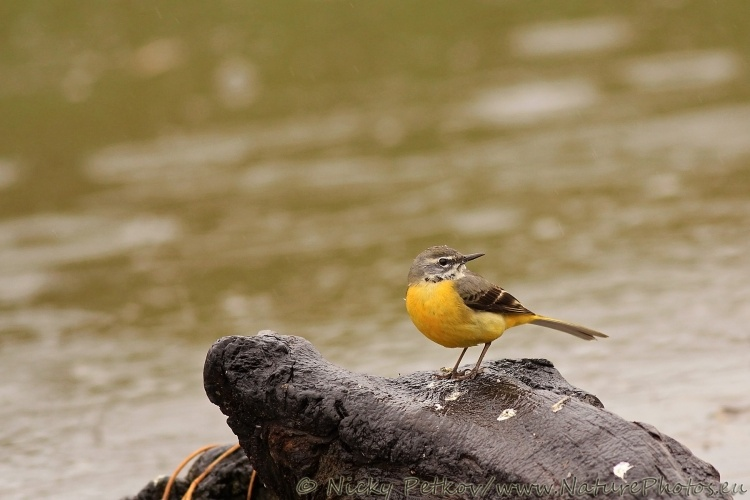 WildLife Photos of Birds, Pipits & Wagtails, Grey Wagtail, Motacilla cinerea