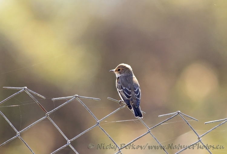 WildLife Photos of Birds, Flycatchers &Tits, Spotted Flycatcher, Muscicapa striata