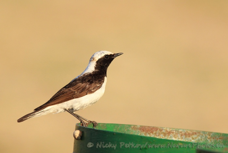 WildLife Photos of Birds, Wheatears & others, Pied Wheatear, Oenanthe pleschanka