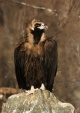 WildLife Photos of Cinereous Vulture, Aegypius monachus