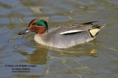 WildLife Photos of Birds, Geese, Ducks & others, Teal, Anas crecca