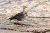 WildLife Photos of Geese, Ducks & others, Snow Goose, Chen caerulescens