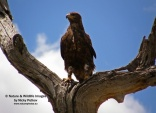 WildLife Photos of Tawny Eagle, Aquila rapax