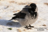 WildLife Photos of Hooded Crow, Corvus corone cornix