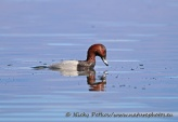 WildLife Photos of Birds, Geese, Ducks & others, Common Pochard