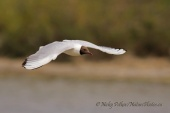 WildLife Photos of Birds, Gulls, Terns & Auks, Common Black-headed Gull