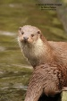 WildLife Photos of Mammals, Carnivores, European Otter, Lutra lutra
