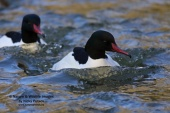 WildLife Photos of Geese, Ducks & others, Common Merganser, Mergus merganser