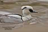 WildLife Photos of Birds, Geese, Ducks & others, Smew, Mergellus albellus