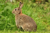 WildLife Photos of Rodents, Rabbit, Oryctolagus cuniculus