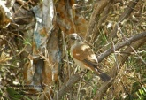 WildLife Photos of Grey-headed Sparrow, Passer griseus