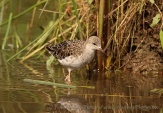 WildLife Photos of Ruff, Philomachus pugnax