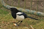 WildLife Photos of Birds, Crows, Starlings & others, Black-billed Magpie, Pica pica