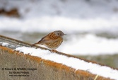 WildLife Photos of Birds, Wheatears & others, Hedge Accentor, Prunella modularis