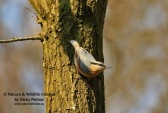 WildLife Photos of Nuthatch, Sitta europaea