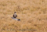 WildLife Photos of Sparrowhawk, Accipiter nisus