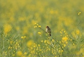 WildLife Photos of Marsh Warbler, Acrocephalus palustris