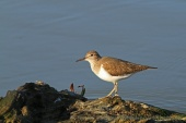 WildLife Photos of Common Sandpiper, Actitis hypoleucos