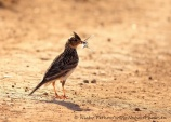 WildLife Photos of Larks, Swallows & Martins, Eurasian Skylark, Alauda arvensis