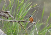WildLife Photos of Birds, Bee-eaters & relatives, Common Kingfisher, Alcedo atthis