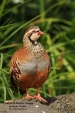 WildLife Photos of Pheasants, partridges & others, Red-legged Partridge, Alectoris rufa