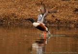 WildLife Photos of Geese, Ducks & others, Northern Shoveler, Anas clypeata