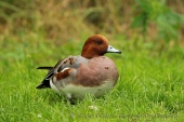 WildLife Photos of Geese, Ducks & others, Eurasian Wigeon, Anas penelope