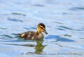 WildLife Photos of Geese, Ducks & others, Mallard, Anas platyrhynchos