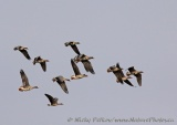 WildLife Photos of Geese, Ducks & others, Greater White-fronted Goose, Anser albifrons