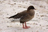 WildLife Photos of Birds, Geese, Ducks & others, Pink-footed Goose, Anser brachyrhynchus