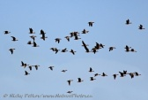 WildLife Photos of Geese, Ducks & others, Lesser White-fronted Goose, Anser erythropus