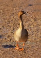 WildLife Photos of Geese, Ducks & others, Bean Goose, Anser fabalis