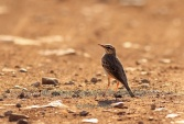 WildLife Photos of Birds, Pipits & Wagtails, Tawny Pipit, Anthus campestris