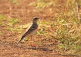 WildLife Photos of Tawny Pipit, Anthus campestris