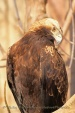 WildLife Photos of Imperial Eagle, Aquila heliaca
