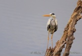 WildLife Photos of Storks & Herons, Grey Heron, Ardea cinerea