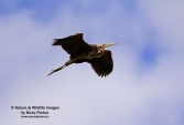WildLife Photos of Storks & Herons, Purple Heron, Ardea purpurea