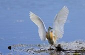 WildLife Photos of Birds, Storks & Herons, Squacco Heron, Ardeola ralloides