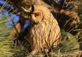 WildLife Photos of Owls & Nightjars, Long-eared Owl, Asio otus
